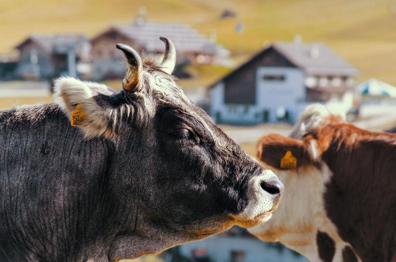 19 | Cow -
