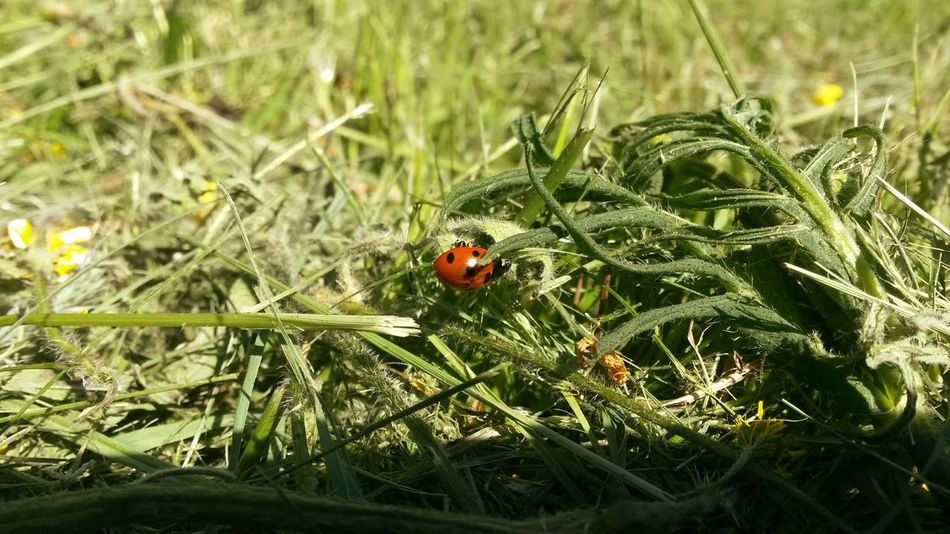 Good Luck spring Nature Nature_collection Happiness First Eyeem Photo Fortuna Coccinelle🐞 Coccinella
