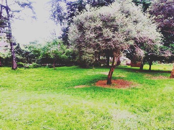Tree Greenary Nature Naturelovers Chettiarpark Park Kodaikanal India South Southindia _soi Instatravel Travel Tamilnadu Traveljournal Pixelpanda_india Incredibleindia Picturesofindia Beautifulindia Hippieinhills Indiatravelgram Desi_diaries Indiaclicks