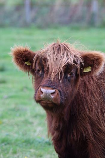 Close-up of highland cattle