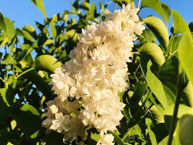 Syringa Syringe Lilac Lilac Flower Flower Beauty In Nature Growth Petal Nature Fragility Freshness Plant Green Color No People Blooming Close-up Leaf Flower Head Day Low Angle View Sunlight Outdoors Garden Garden Flowers Springtime