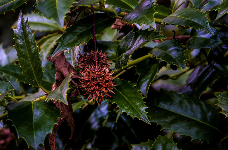 Holly Growth Plant Part Leaf Plant Green Color Nature Beauty In Nature Outdoors Flower Flowering Plant Flower Head Spiky Focus On Foreground Rustic Dead Plant Holly