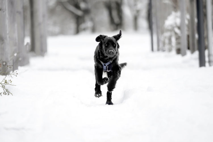 A black puppy is playing in the snow Animal Black Breed Cold Cute Dog Domestic Friend Fur Happy Ice Mammal Nature Obedient Dog Outdoor Outside Pet Playful Puppy Purebred Season  Snow White Winter Canine Pets Domestic Animals Vertebrate One Animal Cold Temperature Animal Themes Running Day Portrait Looking At Camera Covering No People Outdoors Mouth Open Purebred Dog