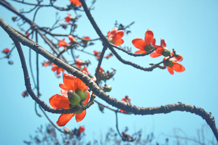 Vibrant red bombax flower in branches, during spring time