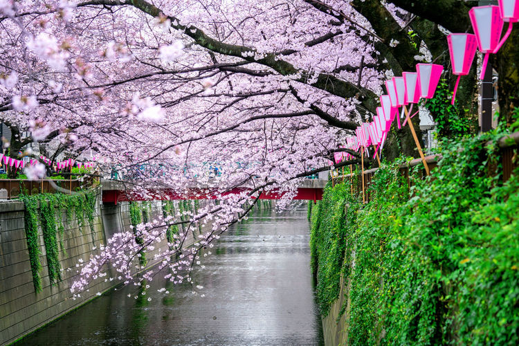 Pink cherry blossoms growing over canal