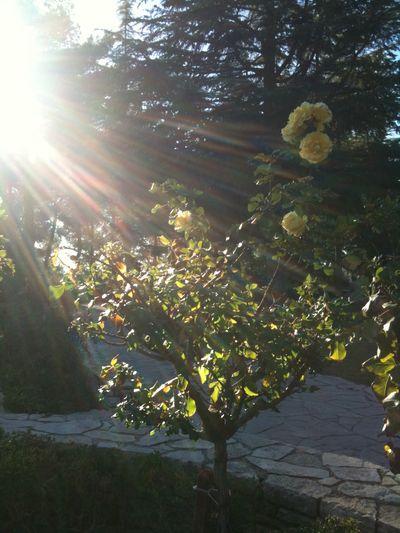 Sunbeam In Tree Israel Yellow Flower Yellow Rose Rosebush Mount Herzel Herzel Eméck Holocaust Memorial Emeck Shalom Holocaust Memorial Cemetary Beauty Redefined