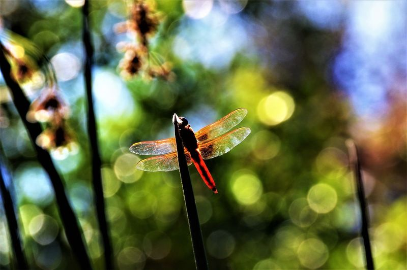 Red Dragonfly and Light ~ Sweetwater River Trail ~ Bonita, CA Bonita California Dragonfly San Diego Animal Animal Themes Animal Wildlife Animal Wing Animals In The Wild Beauty In Nature Bokeh Bokeh Background Bokeh Photography Close-up Day Focus On Foreground Insect Invertebrate Nature No People One Animal Plant Red Dragonfly Sky Sweetwater River Trail Water Reeds