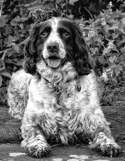 Pippa...... Black & White Dogs Gundogs Springer Spaniels