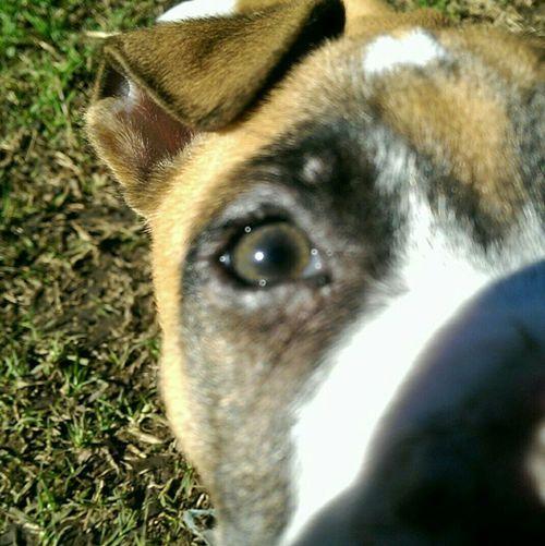 Peek a boo Americanstaffordshireterrier Summer Dogs 10weeks Zeus Bigbeautifuleyes Nofilter#noedit Cheese! Enjoying Life Backyardphotography Puppy Love Puppy Getlostinyou