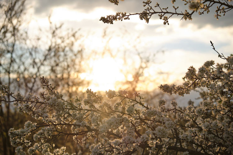 Close-up of cherry blossom against sky during sunset