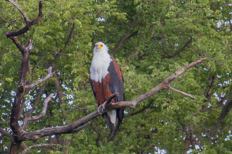 Afrika Animal Themes Beauty In Nature Bird Branch Eagle Fish Eagle Namibia Nature Nature Outdoors Tree Tree Trunk