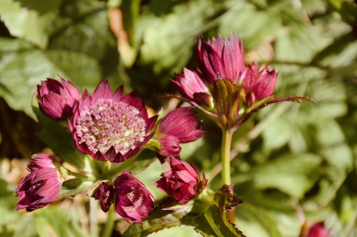 Astrantia Great Masterwort Beauty In Nature Close-up Day Flower Flower Head Flowering Plant Focus On Foreground Fragility Freshness Growth Inflorescence Leaf Nature No People Outdoors Petal Pink Color Pink Flower Plant Plant Part Selective Focus Vulnerability