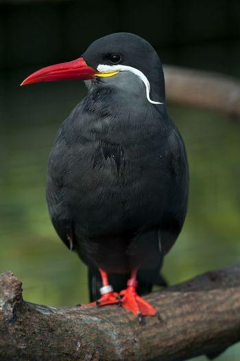 Animal Themes Animal Wildlife Animals In The Wild Beak Bird Close-up Day No People One Animal Outdoors Penguin Perching