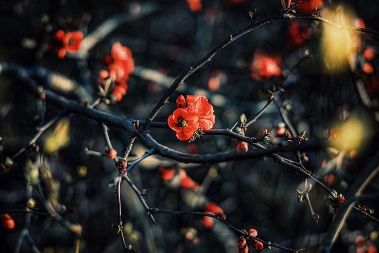 Red blooming quince in springtime