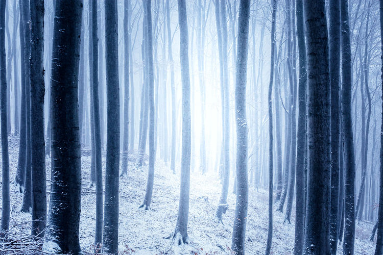 Forest Tree Land Cold Temperature Winter No People Nature Blue Curtain Snow Tranquil Scene Tranquility Environment Beauty In Nature Plant Scenics - Nature WoodLand Day Trunk Outdoors Pine Tree Icicle