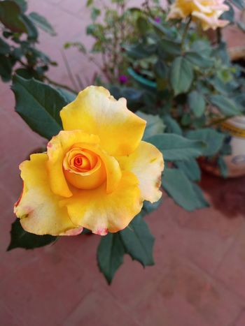 yellow beauty Flowering Yellow Colour Yellow Beauty Yellow Yellow Flower Yellow Rose Rose Plant Flower Flower Head Petal Rose - Flower Plant Yellow Fragility EyeEmNewHere
