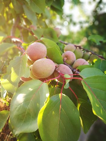 Fruit Food And Drink Outdoors Nature Healthy Eating Tree Beauty In Nature Freshness Peach Immature  Leaf Growth Unripe Unripe Fruit Branch