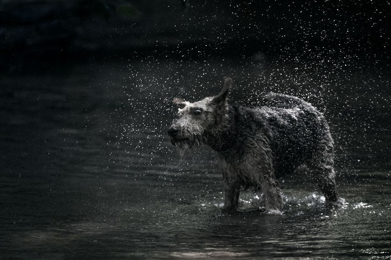 Aggression  Animal Animal Themes Animal Wildlife Animals In The Wild Dog Domestic Domestic Animals Mammal Motion Nature No People One Animal Outdoors Pets Playing Snowing Splashing Vertebrate Water Waterfront Wet