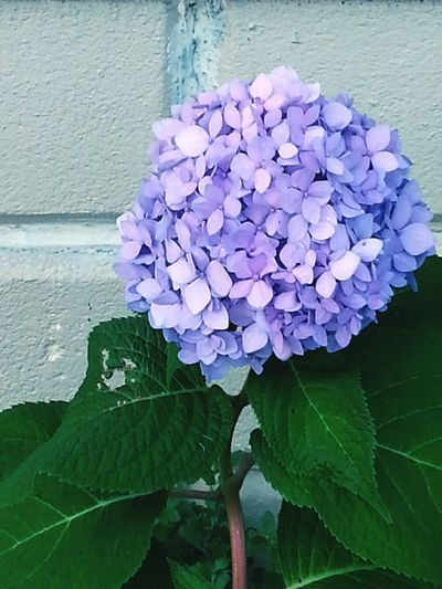 Plant Purple Hydrangea Leaf Flower Petal Beauty In Nature Nature Fragility Flower Head No People Close-up Growth Outdoors Day Freshness Backgrounds