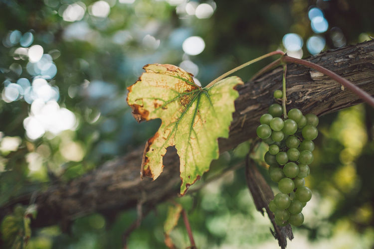 Vine Vineyard Grapes Harvest Harvest Time Autumn Plant Tree Growth Focus On Foreground Food And Drink Food Close-up Day Leaf Plant Part Healthy Eating Nature Green Color No People Fruit Outdoors Beauty In Nature Freshness Branch Selective Focus Leaves