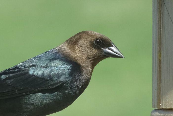 Cowbird Bird Animal Themes Close-up Nature Unedited