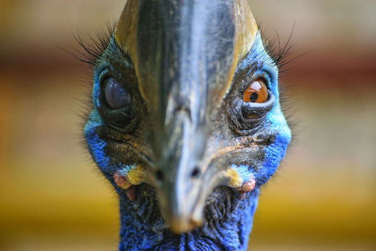 Odds  Cassowary Cassowary Eye Cassowaries Cassowary Bird Close-up One Animal Looking At Camera Portrait Animal Themes Animal Head  Feather  Animal Wildlife Multi Colored Day No People Nature Bird Eyeball Animals In The Wild Animal Head  Animal Eye Beak Animal Body Part Focus On Foreground Feather  Blue Outdoors Bird Of Prey Animal Head