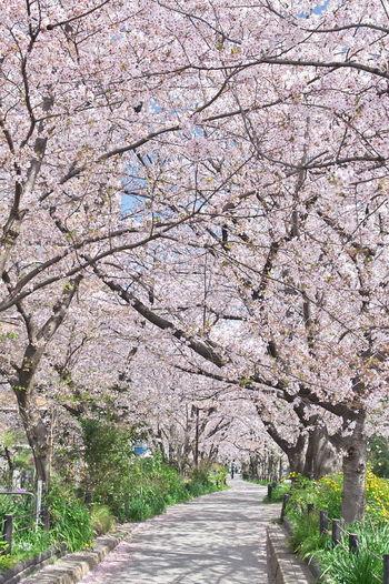 ん十年前に通っていた高校近くの遊歩道。桜のトンネルになってます。 桜 Cherry Blossoms 春 サクラ Tree Flower Branch Springtime Blossom Pink Color