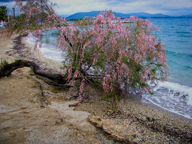 Tamarisk Tree Blooming Blossom Red Beach Nature Sand Water Landscape Beauty In Nature Scenics Tranquil Scene Blue Tranquility Beach Photography Sea Green And Blue Tree And Sea Lost In The Landscape Perspectives On Nature