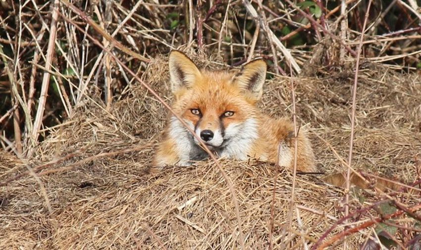 Fox One Animal Animal Themes Animal Fox Animals In The Wild Animal Wildlife Mammal