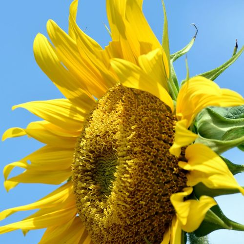 A Lot Of Happiness Vigorous Color Beauty In Nature Close-up Day Flower Flower Head Flowering Plant Fragility Freshness Growth Inflorescence Nature No People Outdoors Petal Plant Pollen Sky Sunflower Vulnerability  Yellow