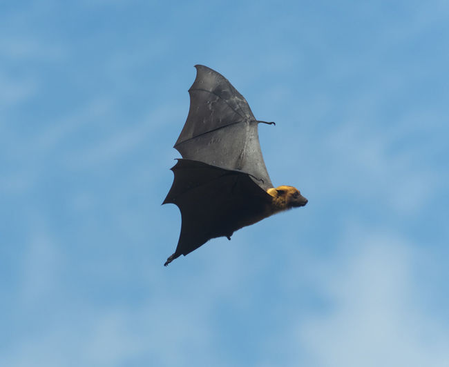 Bat Flying Fox Sky Background Vampire Fruit Tropical Night Wildlife Wing Hang Black Down Bats Fly Rainforest Dark Scary Claws Animal Blood Evil Nature Halloween Isolated Pteropus Blue ASIA Mammal Flight Spooky White HEAD Gothic Bite Nocturnal Nighttime Frightening Silhouette Wings