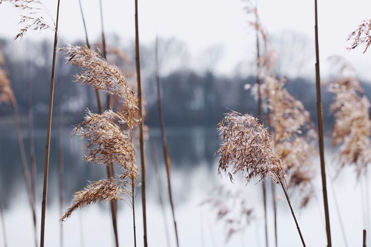 Close-up of dry frozen plants on field