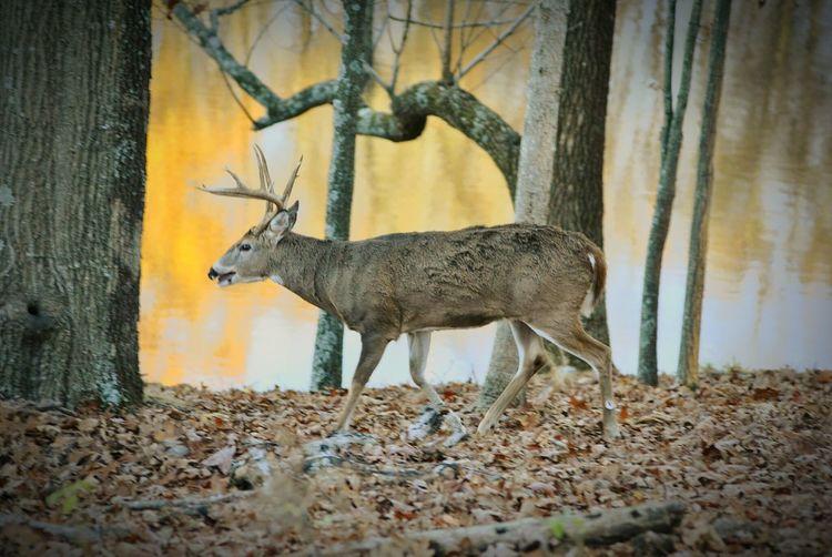 Buck, Lone Elk Park