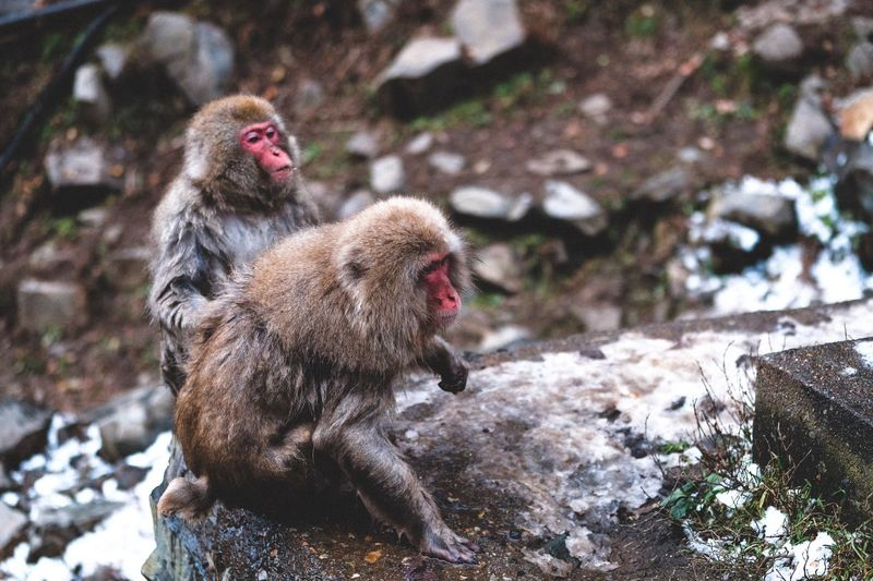 Monkey Business (1) Winter Fujifilm_xseries Monkey Animal Themes Animal Primate Group Of Animals Animal Wildlife Animals In The Wild Japanese Macaque Cold Temperature No People Nature