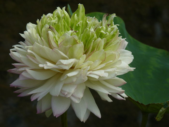 lotus Flower Flowering Plant Plant Vulnerability  Beauty In Nature Fragility Petal Freshness Close-up Inflorescence Growth Flower Head Nature Focus On Foreground No People White Color Chrysanthemum Day Botany Lotus Lotus Water Lily Lotus Flower Aleq
