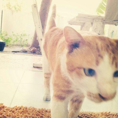 ไข่เจียว Cat Doreko_jinamoto