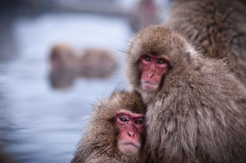 Portrait Of Japanese Macaques At Jigokudani Monkey Park