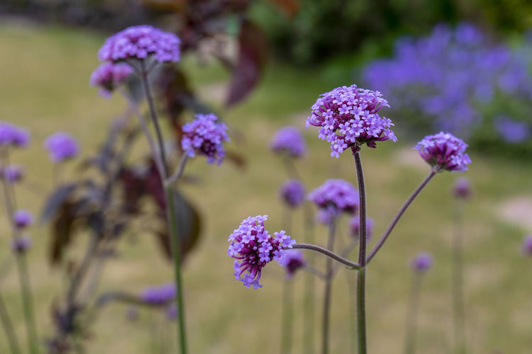 Verbena bonariensis in flower Beauty In Nature Close-up Flower Flower Head Flowering Plant Focus On Foreground Nature No People Outdoors Plant Purple Purpletop Vervain Verbena Bonariensis