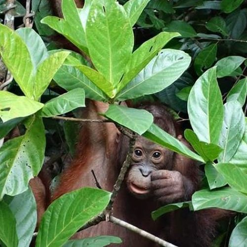 Borneo Malaysia Sabah Sepilok Nature Wildlife Wildlifephotography Orangutan Endangered  Travel Greatape Ape Primate Wildanimal Cute Ginger