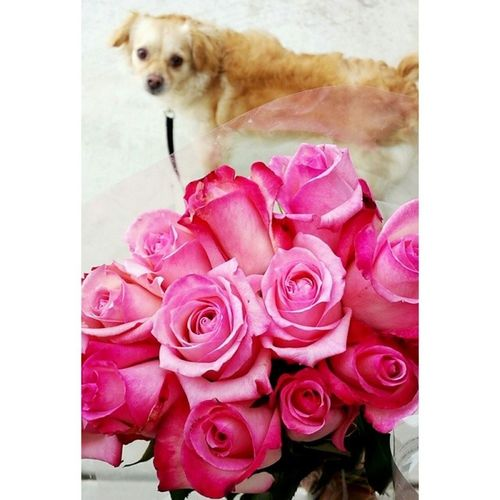Pink roses from my Baby ???? 14months SweetieBear