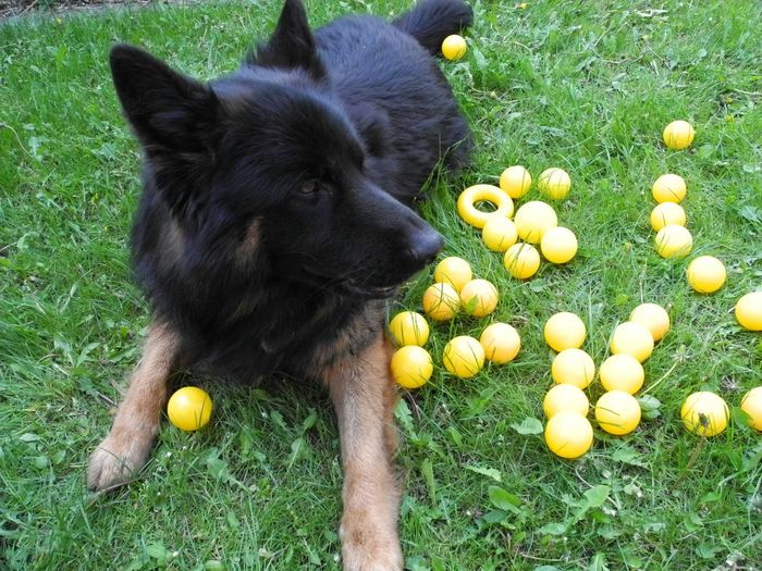 Lemon By Motorola Eyeem Missions Balls Dog❤ Eyeem Animal I Love My Dogs My Dogs Are Cooler Than Your Kids Playing With The Animals German Shepherd