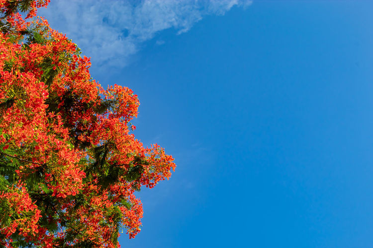 The beauty of a red flower or Caesalpinia pulcherrima (L.) a bright blue sky. Autumn Beauty In Nature Blue Change Copy Space Day Flower Flowering Plant Growth Low Angle View Nature No People Orange Color Outdoors Plant Red Scenics - Nature Sky Tranquility Tree