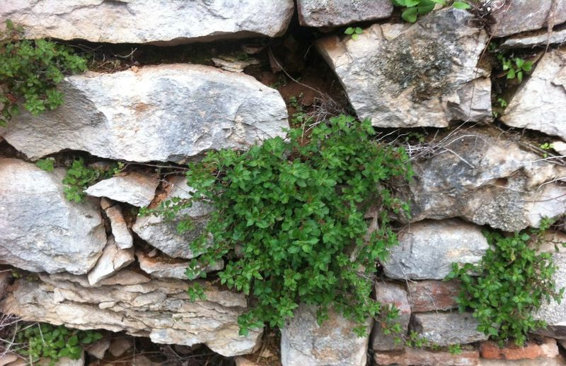 Beauty In Nature Close-up Day Freshness Green Color Growth Mediterranean  Nature No People Outdoors Sea Stone Tree Wall Weed