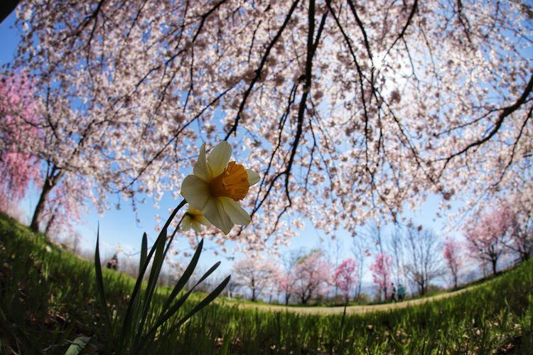 春!まだまだ楽しみ😆 春 徘徊 Nature 一目惚れんず Tree Flower Flower Head Springtime Branch Agriculture Rural Scene Sky Grass Apple Blossom