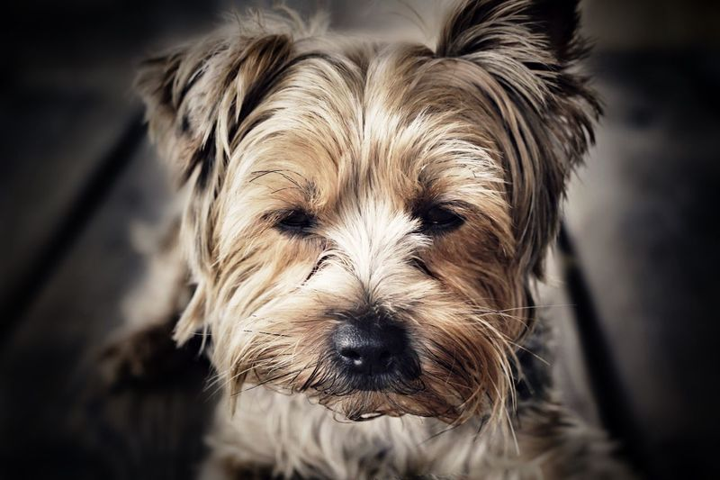 Dog YorkieBestShots Mydog♡ Puppy Love Cute Pets Pet Photography  Furbaby Love ♥