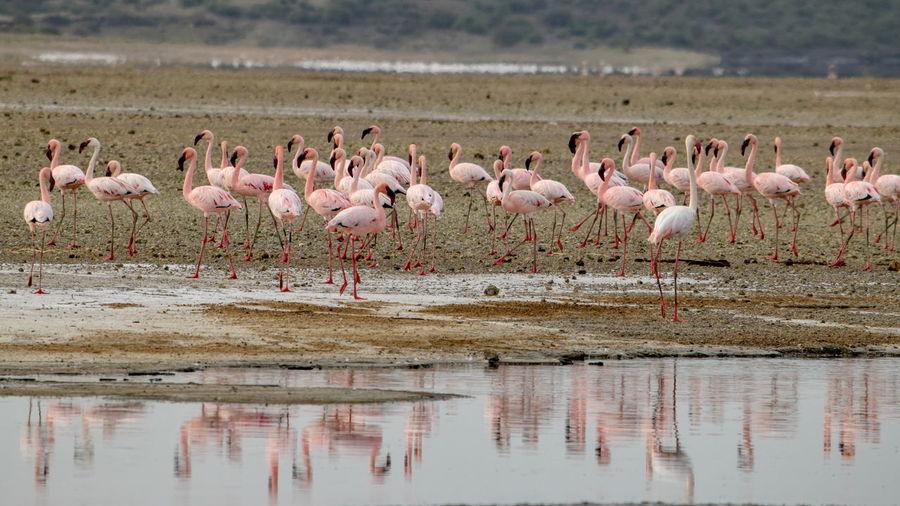 A flurry of flamingos at lake magadi, the great rift valley, kenya