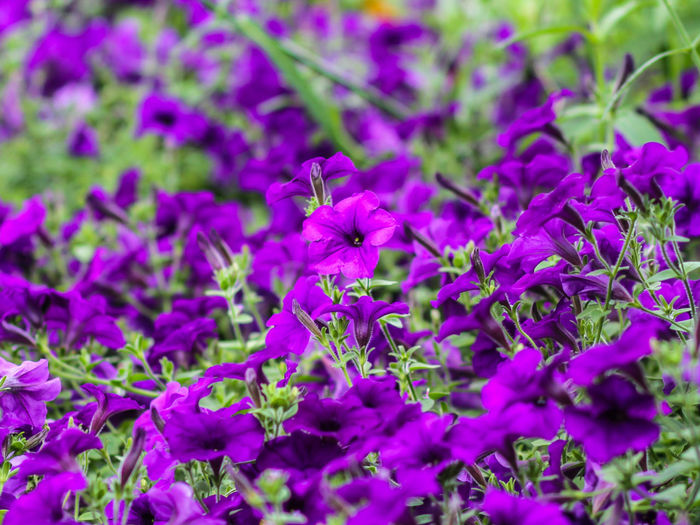 Purple petunias blooming on field