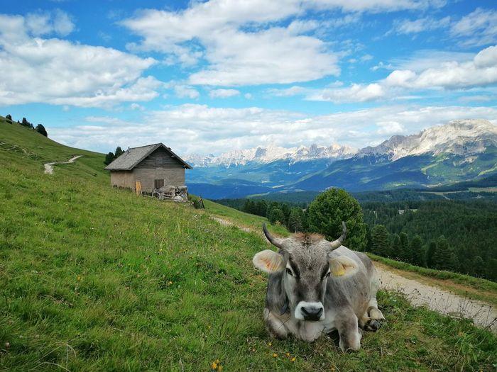 Dolomites Alps Passo Oclini Farm Bolzano Trentino Alto Adige Alto Adige Italy Mountain Mountain Sky Grass Mountain Range Landscape Cloud - Sky Domestic Cattle Cow Pasture Farm Animal Highland Cattle