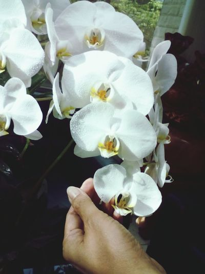 white orchid in hand Flower Petal Flower Head Freshness Close-up Beauty In Nature Adult One Person Nature Fragility Human Body Part Day Adults Only Human Hand People Indoors  Only Women One Woman Only