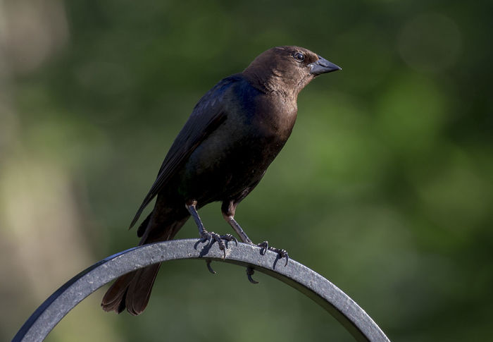 Perching in the evening light Evening Light Animal Animal Themes Animal Wildlife Animals In The Wild Bird Cowbird Full Length Green Color Nature No People One Animal Outdoors Perching